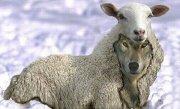 Перестанет ли волк, облаченный в овечью шкуру, оставаться хищником?!