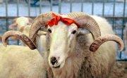 Жертвенное животное – дар небесам и основа праздничного застолья