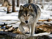 Серые разбойники вконец обнаглели. Кто спасет сельчан от волков?