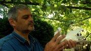 Голубиная история Роберта Мишвелидзе или явление миру юго-осетинского грывуна